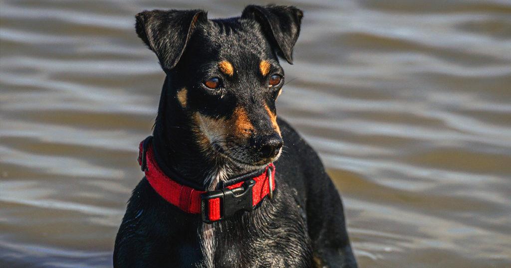 un terrier jack russel