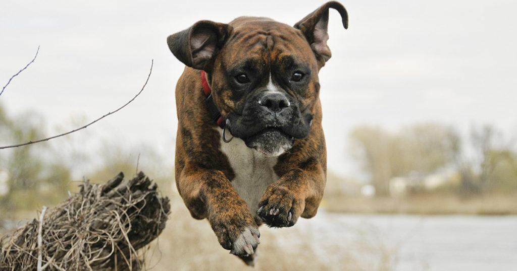 un boxer qui saute