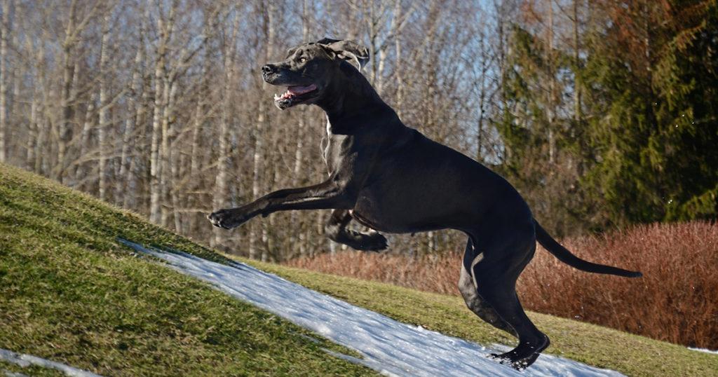 dogue allemand qui joue